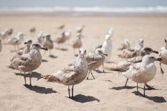 Gaviotas de la playa Imágenes de archivo libres de regalías