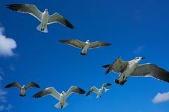 Gaviotas de las gaviotas que vuelan en el cielo azul Fotos de archivo libres de regalías