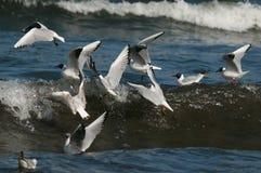 Gaviotas de mar Fotografía de archivo libre de regalías
