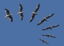 Gaviotas de mar del vuelo Imagenes de archivo