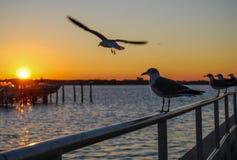 Gaviotas de mar en la puesta del sol Imagen de archivo libre de regalías