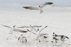 Gaviotas de Pensacola Foto de archivo libre de regalías