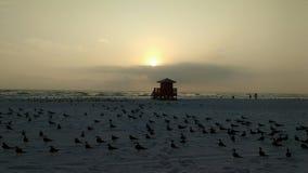 Gaviotas de risa en la puesta del sol Imagenes de archivo