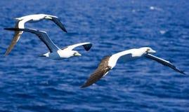 3 gaviotas del Caribe del bobo que vuelan arriba Fotos de archivo libres de regalías