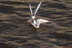 Gaviotas del lago Foto de archivo libre de regalías