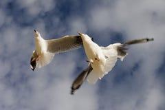 Gaviotas del vuelo Fotografía de archivo libre de regalías