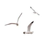 Gaviotas del vuelo Imagen de archivo libre de regalías