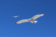 Gaviotas del vuelo Foto de archivo libre de regalías