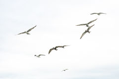 Gaviotas del vuelo Fotos de archivo