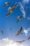 Gaviotas del vuelo Fotos de archivo libres de regalías