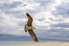 Gaviotas del vuelo en el verano del cielo en la Crimea Imagen de archivo libre de regalías