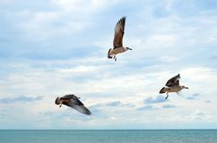 Gaviotas del vuelo sobre el mar tranquilo Imágenes de archivo libres de regalías