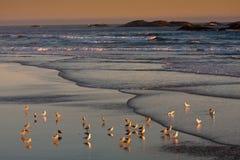 Gaviotas durante la puesta del sol de los países de la costa del Pacífico Foto de archivo libre de regalías