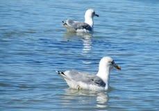 Gaviotas en agua de mar Imagen de archivo