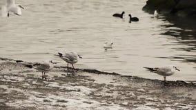 Gaviotas en el borde del agua en invierno almacen de video