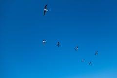 Gaviotas en el cielo Fotografía de archivo