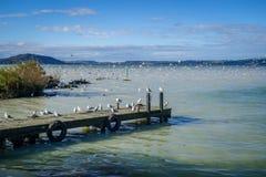 Gaviotas en el embarcadero de madera, lago rotorua, Nueva Zelanda Imagen de archivo