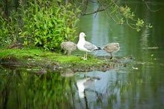 Gaviotas en el lago Fotografía de archivo