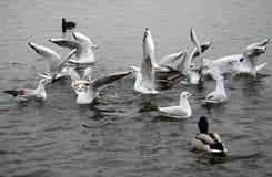 Gaviotas en el lago Fotografía de archivo libre de regalías