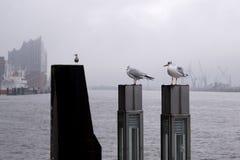 Gaviotas en el puerto Hamburgo, Alemania imagen de archivo libre de regalías