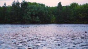 Gaviotas en el río almacen de video
