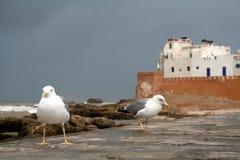 Gaviotas en Essaouira imagen de archivo