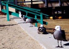 5 gaviotas en fila Fotos de archivo libres de regalías