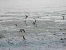 Gaviotas en la orilla de un mar congelado Foto de archivo libre de regalías