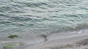 Gaviotas en la orilla del Mar Negro almacen de video