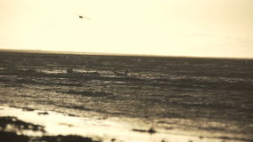 Gaviotas en la playa 25 03 2017 - JURMALA - LETONIA almacen de metraje de vídeo