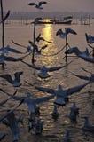 Gaviotas en la puesta del sol, Sangam, Allahabad, la India Fotos de archivo