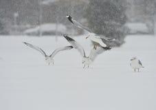 Gaviotas en la tormenta de la nieve Foto de archivo libre de regalías