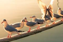 Gaviotas en pescados que esperan de la cuerda de la nave para