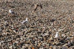 Gaviotas en Sunny Pebble Beach imagenes de archivo