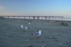 Gaviotas en una playa con el puente del muelle en el fondo, Christchurch imagen de archivo libre de regalías