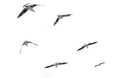 Gaviotas en vuelo Foto de archivo libre de regalías