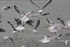 Gaviotas en vuelo Fotografía de archivo libre de regalías