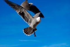 Gaviotas en vuelo Foto de archivo