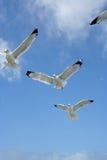 Gaviotas en vuelo Imagen de archivo libre de regalías
