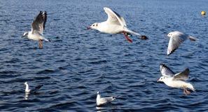 Gaviotas en vuelo en el lago Imagen de archivo libre de regalías