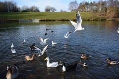 Gaviotas en vuelo en el lago Foto de archivo libre de regalías