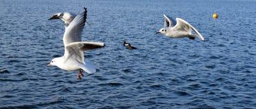 Gaviotas en vuelo en el lago Imágenes de archivo libres de regalías