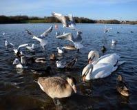 Gaviotas en vuelo en el lago Fotografía de archivo libre de regalías