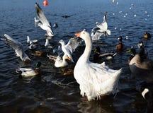 Gaviotas en vuelo en el lago Foto de archivo