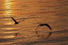 Gaviotas en vuelo en la puesta del sol sobre el agua imagen de archivo