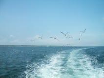 Gaviotas en vuelo entre ondas imágenes de archivo libres de regalías