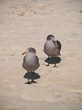 Gaviotas grises en una playa Fotografía de archivo