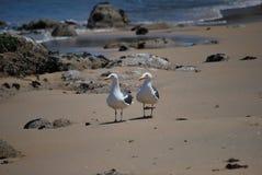 Gaviotas junto que caminan la playa Imagenes de archivo