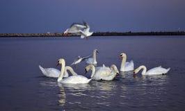 Gaviotas que asoman sobre un grupo de cisnes Foto de archivo libre de regalías