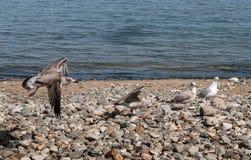 Gaviotas que aterrizan en Pebble Beach fotos de archivo